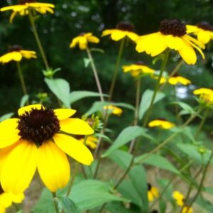 Branched Coneflower