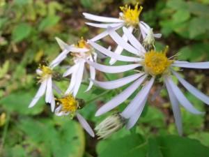 big-leaf-aster-eurybia-macrophylla