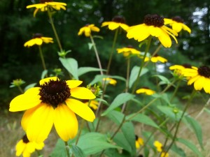 branched-coneflower